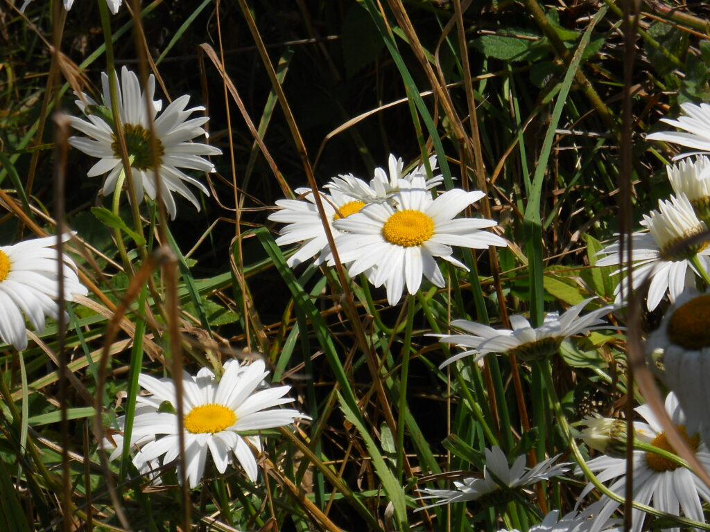 Daisies, Cape Disappointment, Oregon 2013
